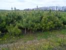 Сосна крымская (с комом земли)